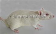 Lewis大鼠